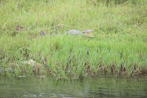 Short nose croc